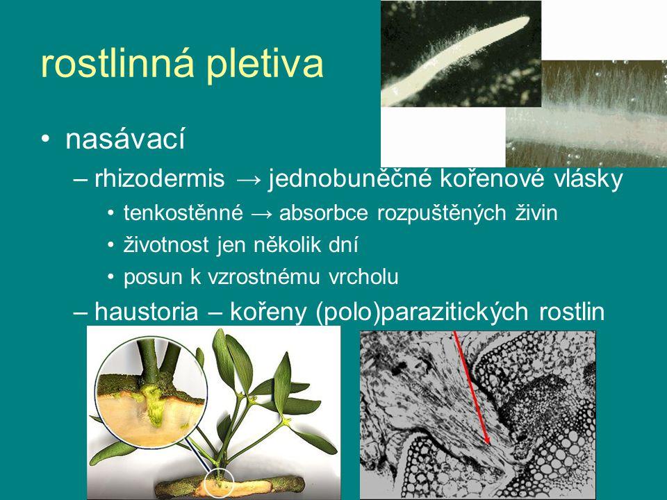 nasávací –rhizodermis → jednobuněčné kořenové vlásky tenkostěnné → absorbce rozpuštěných živin životnost jen několik dní posun k vzrostnému vrcholu –h