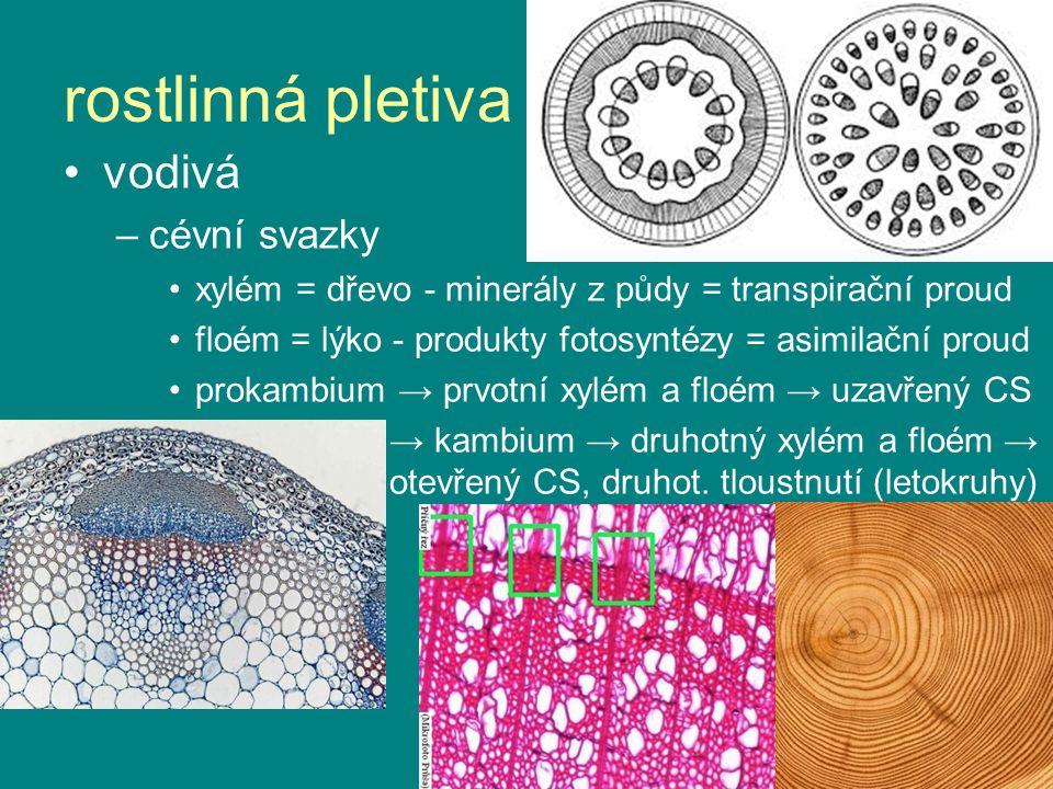 vodivá –cévní svazky xylém = dřevo - minerály z půdy = transpirační proud floém = lýko - produkty fotosyntézy = asimilační proud prokambium → prvotní