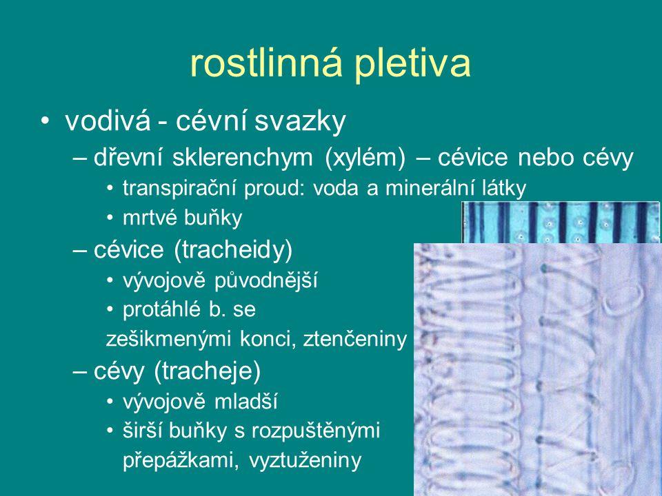 rostlinná pletiva vodivá - cévní svazky –dřevní sklerenchym (xylém) – cévice nebo cévy transpirační proud: voda a minerální látky mrtvé buňky –cévice