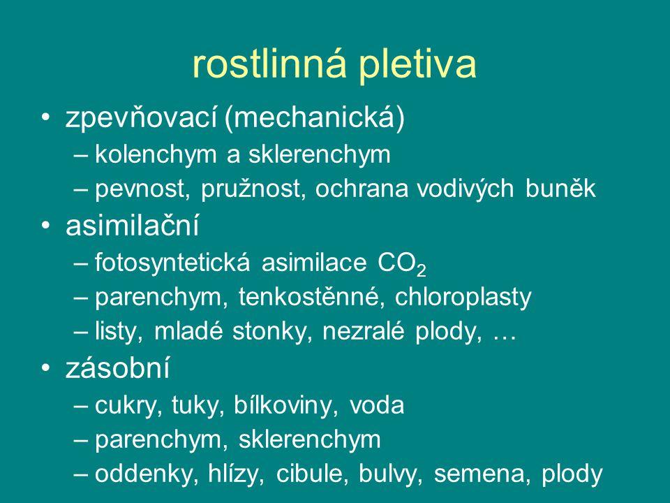 rostlinná pletiva zpevňovací (mechanická) –kolenchym a sklerenchym –pevnost, pružnost, ochrana vodivých buněk asimilační –fotosyntetická asimilace CO