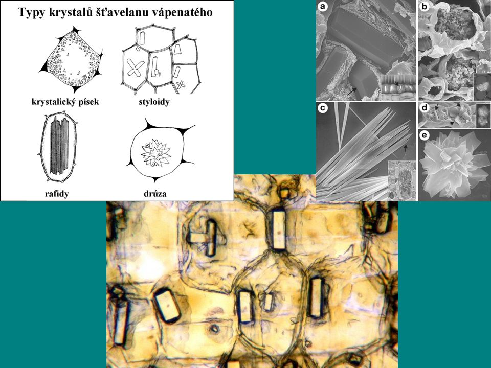 rostlinná buňka - něco nového: buněčná stěna –celulóza (celulózní fibrila), pektiny, extensin apoplast –propojení prostoru buněčných stěn sousedních buněk → apoplast (transport) –až tři vrstvyvrstvy střední lamela - spojení buněk, pektiny primární stěna - pružná, snadno roste - cel.