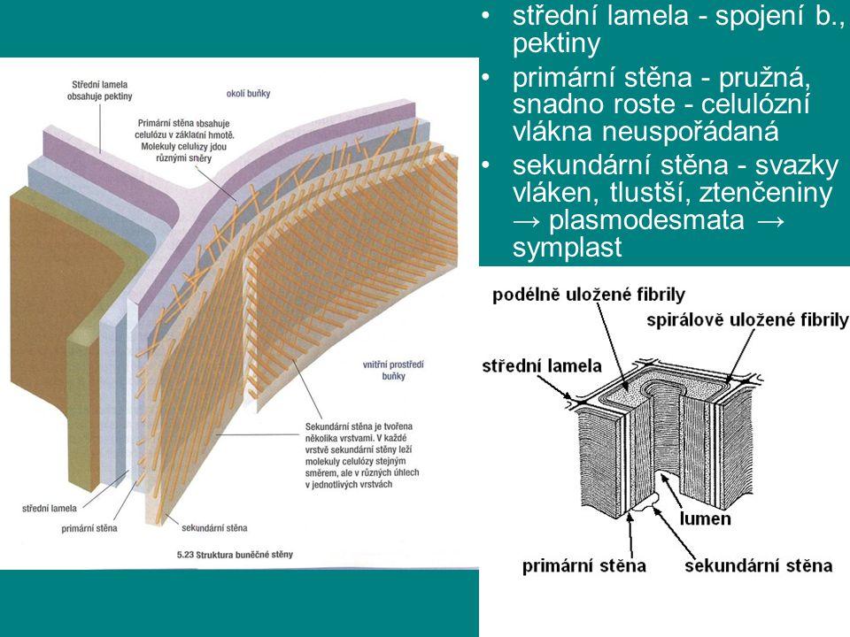 střední lamela - spojení b., pektiny primární stěna - pružná, snadno roste - celulózní vlákna neuspořádaná sekundární stěna - svazky vláken, tlustší,