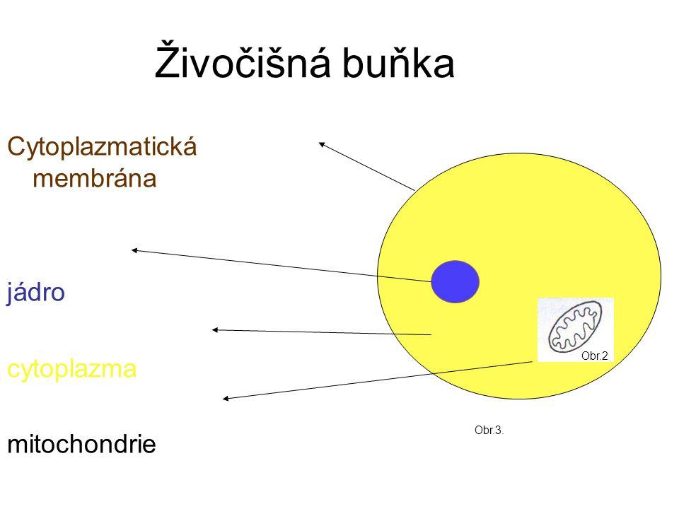 Živočišná buňka Cytoplazmatická membrána jádro cytoplazma mitochondrie Obr.2 Obr.3.