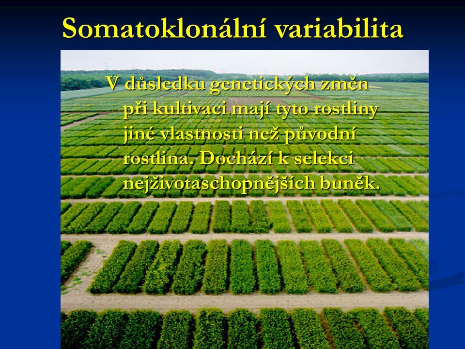 Somatoklonální variabilita V důsledku genetických změn při kultivaci mají tyto rostliny jiné vlastnosti než původní rostlina. Dochází k selekci nejživ