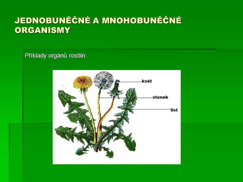 JEDNOBUNĚČNÉ A MNOHOBUNĚČNÉ ORGANISMY Příklady orgánů rostlin: