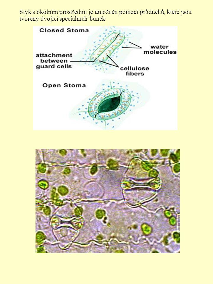 Styk s okolním prostředím je umožněn pomocí průduchů, které jsou tvořeny dvojicí speciálních buněk