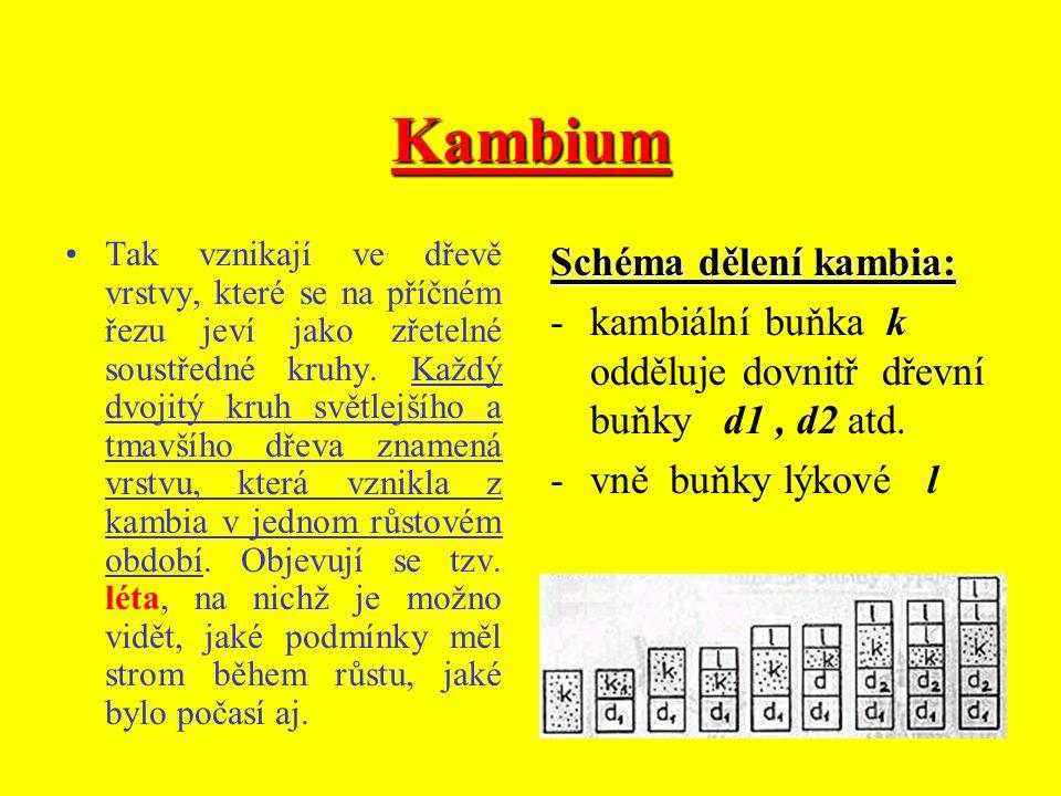 Kambium Protože je kambium umístěno mezi dřevem a lýkem, tvoří se zde buňky dvojího pletiva. Při dělení kambiálních buněk vzniká směrem dovnitř kmene