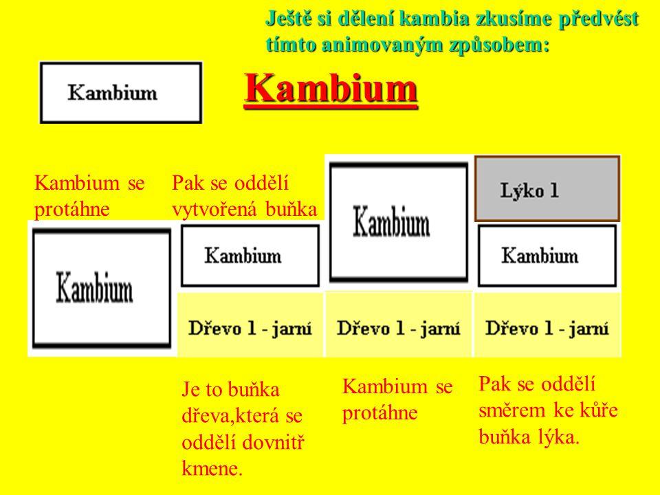 Kambium Tak vznikají ve dřevě vrstvy, které se na příčném řezu jeví jako zřetelné soustředné kruhy. Každý dvojitý kruh světlejšího a tmavšího dřeva zn