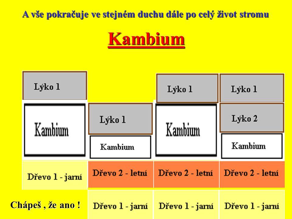 Kambium Kambium se protáhne Pak se oddělí vytvořená buňka Je to buňka dřeva,která se oddělí dovnitř kmene. Kambium se protáhne Pak se oddělí směrem ke