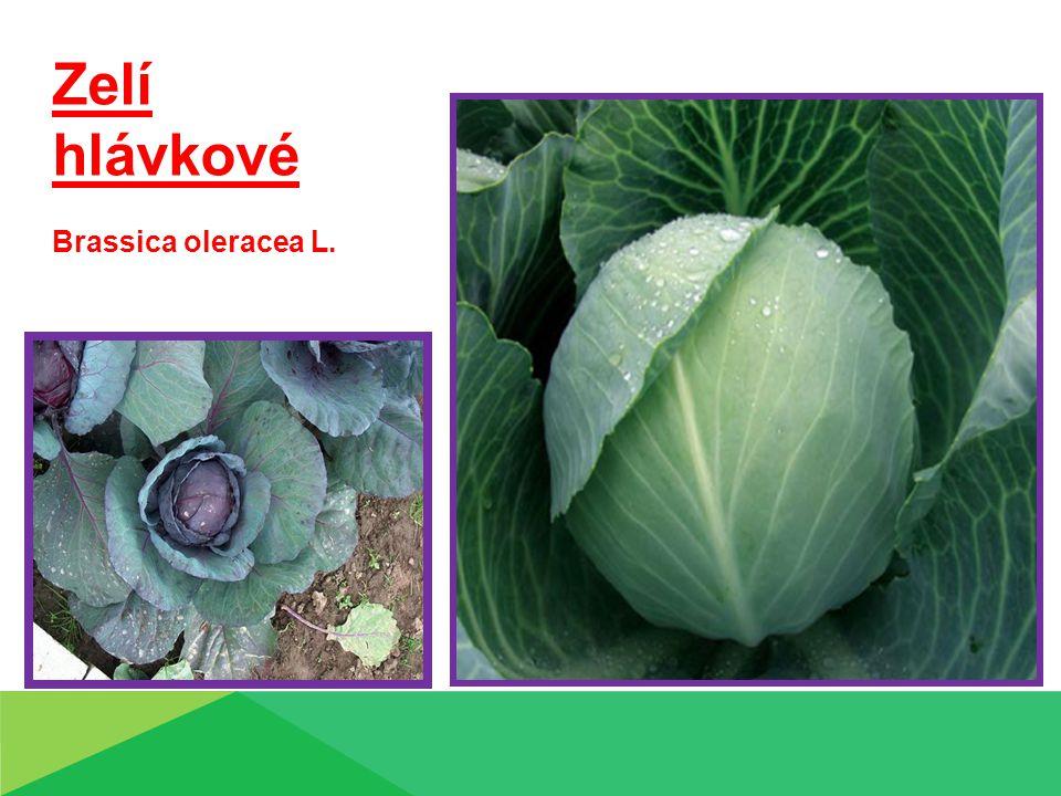 Technologie pěstování: Rané polní odrůdy - předpěstování  výsev ½ února – března  Výsadba, spon 0,50 x 0,30 m, doba – ½ března – ½ dubna Pozdní a kruhárenské odrůdy  minisadba, balíčkovaná sadba  přímý výsev - spon: 0,5 - 0,6 m x 0,45 m Ošetřování:  Zálivka  plečkování  chemické ošetření x plevelům, škůdcům, chorobám Sklizeň:  probírkou – rané a polorané odrůdy  jednorázová ( strojová ) – pozdní, kruhárenské  výnos – 25 – 30 t.