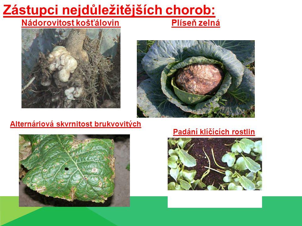 Škůdci košťálovin : Mšice zelná Můra zelná ( Brevicoryne brassicea )( Mamestra brasicae L. )