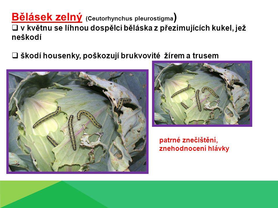 Dřepčík zelný – (Phyllotreta undulata )  brouk se objevuje na rostlinách od dubna  vykousávají za teplejšího počasí 1 – 2 mm velké otvory  brouci dřepčíka poškozují klíčící rostliny