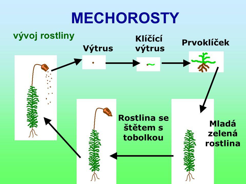 MECHOROSTY vývoj rostliny Výtrus Klíčící výtrus Prvoklíček Mladá zelená rostlina Rostlina se štětem s tobolkou