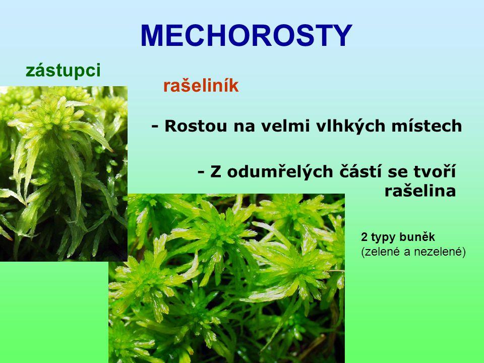 MECHOROSTY zástupci rašeliník - Rostou na velmi vlhkých místech - Z odumřelých částí se tvoří rašelina 2 typy buněk (zelené a nezelené)