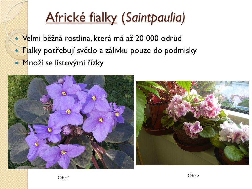 Africké fialky (Saintpaulia) Velmi běžná rostlina, která má až 20 000 odrůd Fialky potřebují světlo a zálivku pouze do podmisky Množí se listovými řízky Obr.4 Obr.5