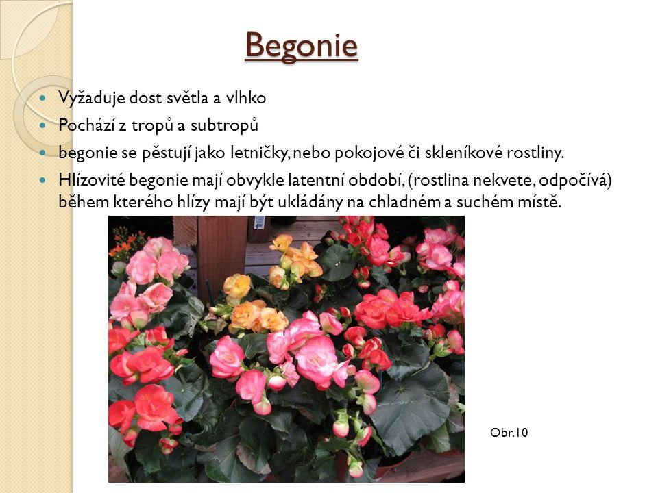 Begonie Vyžaduje dost světla a vlhko Pochází z tropů a subtropů begonie se pěstují jako letničky, nebo pokojové či skleníkové rostliny.