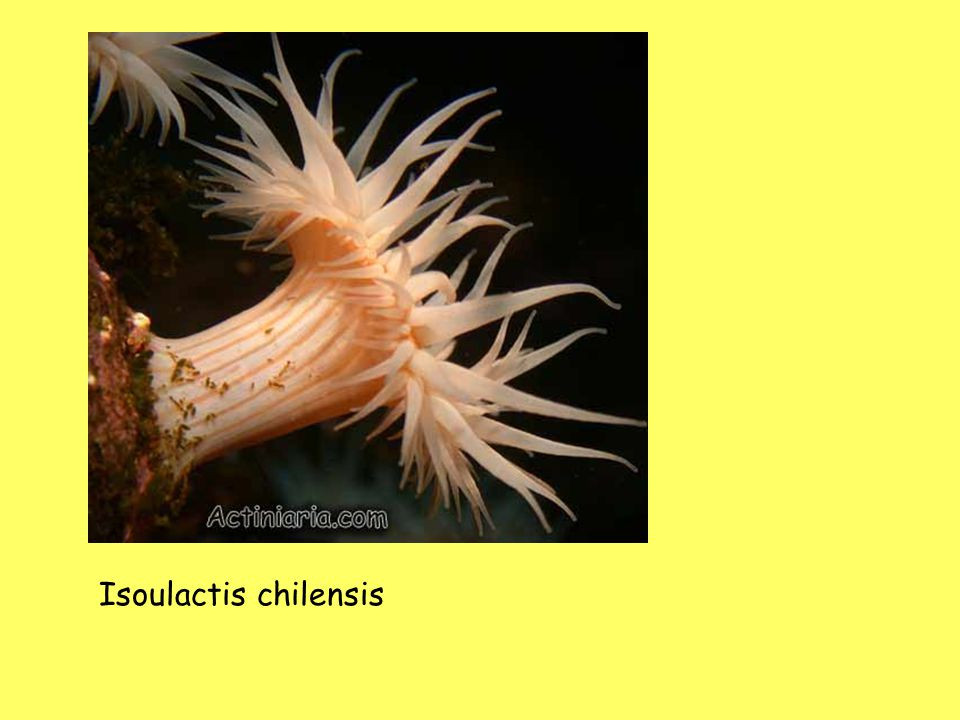 Isoulactis chilensis