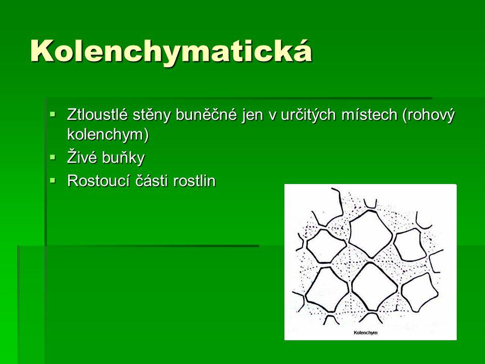 Kolenchymatická  Ztloustlé stěny buněčné jen v určitých místech (rohový kolenchym)  Živé buňky  Rostoucí části rostlin