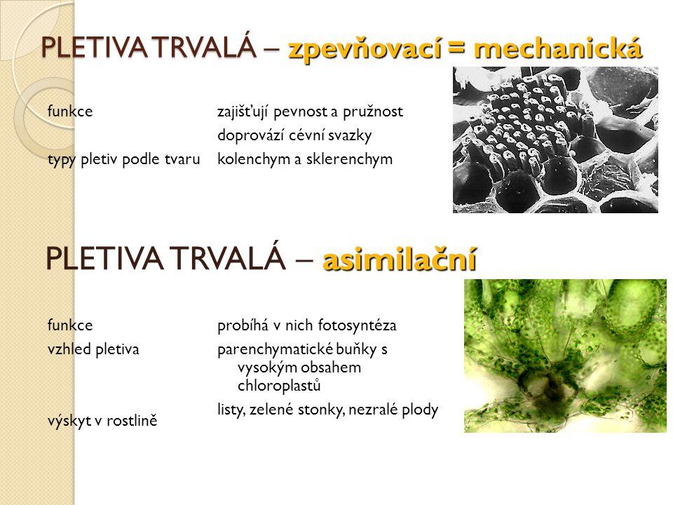 PLETIVA TRVALÁ – zpevňovací = mechanická funkce typy pletiv podle tvaru funkce vzhled pletiva výskyt v rostlině zajišťují pevnost a pružnost doprovází
