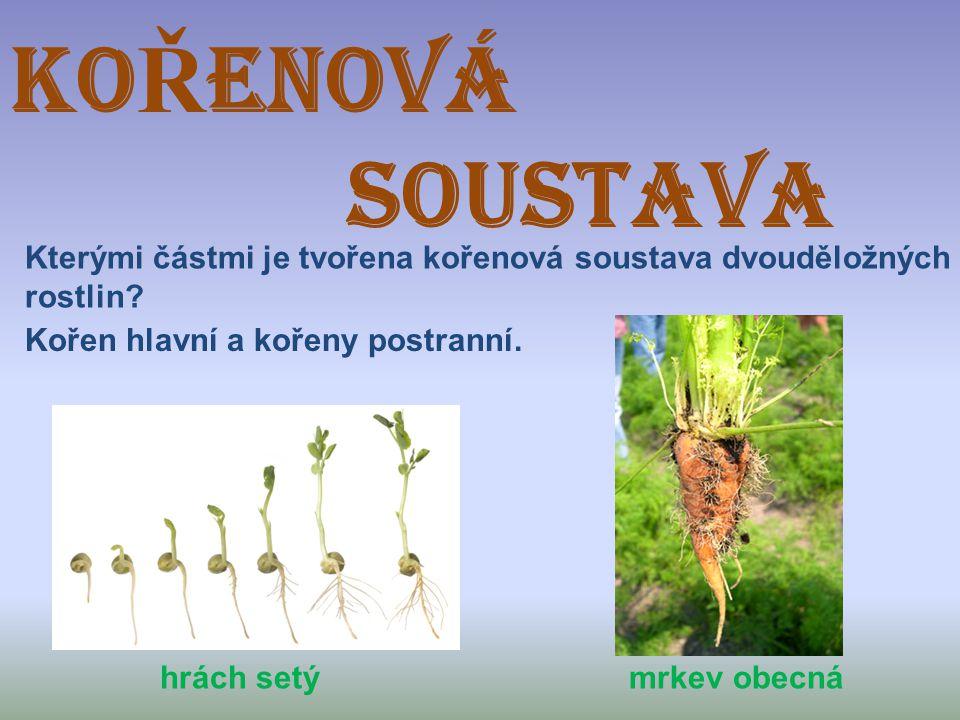 KO Ř ENOVÁ SOUSTAVA Kterými částmi je tvořena kořenová soustava dvouděložných rostlin? hrách setý mrkev obecná Kořen hlavní a kořeny postranní.