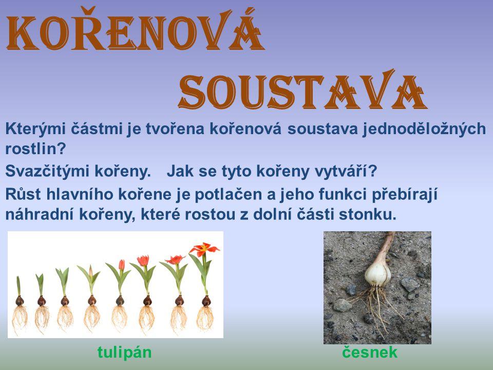 KO Ř ENOVÁ SOUSTAVA Kterými částmi je tvořena kořenová soustava jednoděložných rostlin? Svazčitými kořeny.Jak se tyto kořeny vytváří? Růst hlavního ko