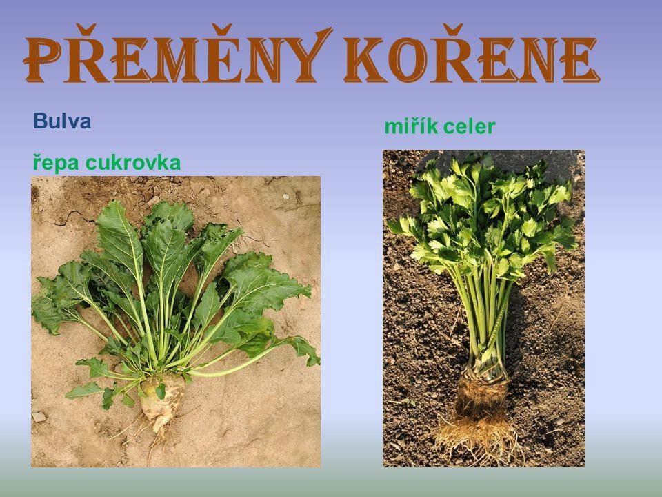 P Ř EM Ě NY KO Ř ENE Bulva řepa cukrovka miřík celer