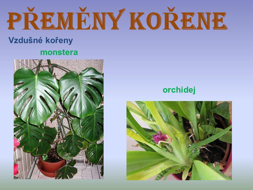 P Ř EM Ě NY KO Ř ENE Vzdušné kořeny monstera orchidej