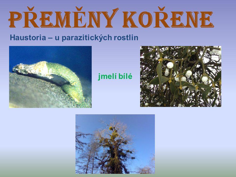 P Ř EM Ě NY KO Ř ENE Haustoria – u parazitických rostlin jmelí bílé