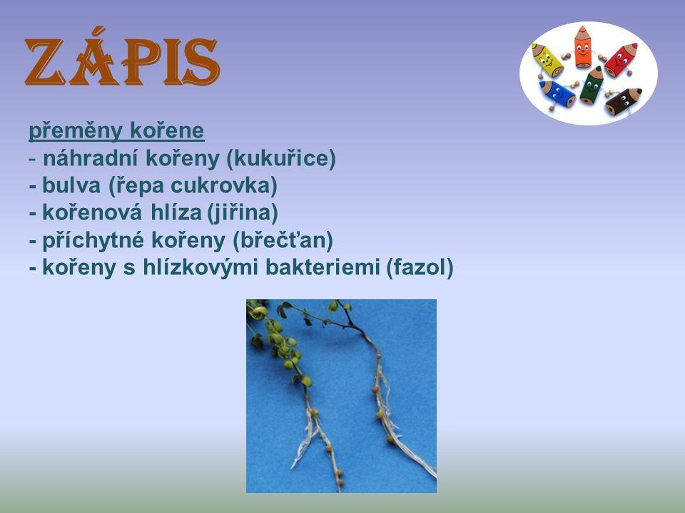 ZÁPIS přeměny kořene - náhradní kořeny (kukuřice) - bulva (řepa cukrovka) - kořenová hlíza (jiřina) - příchytné kořeny (břečťan) - kořeny s hlízkovými