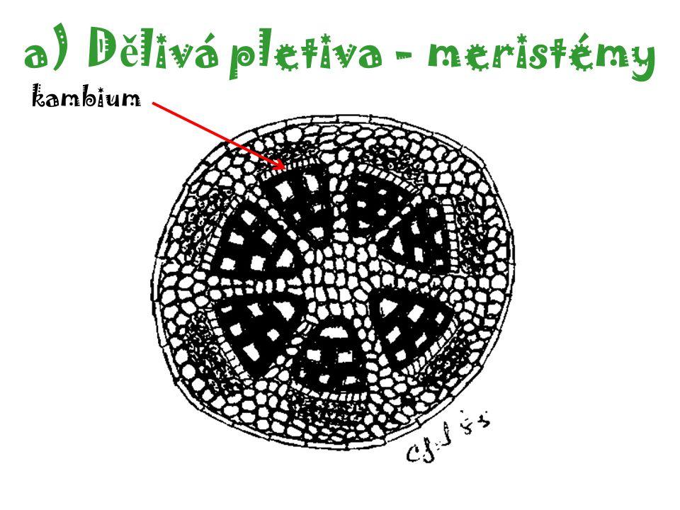 a)D ě livá pletiva - meristémy kambium