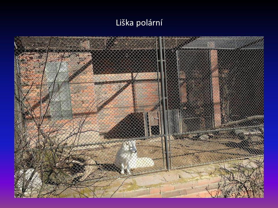 Levhart-patří k nejkrásnějším velkým kočkám snímek pořízen proti slunci a přes pletivo-zhoršená kvalita