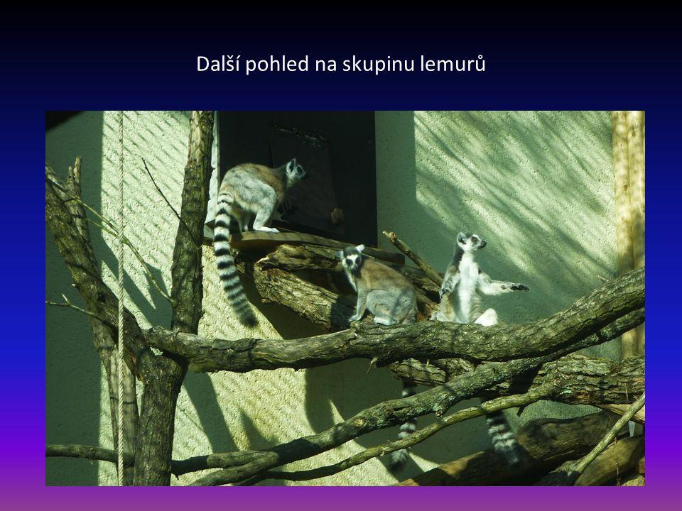 Skupina lemurů-patří mezi poloopice