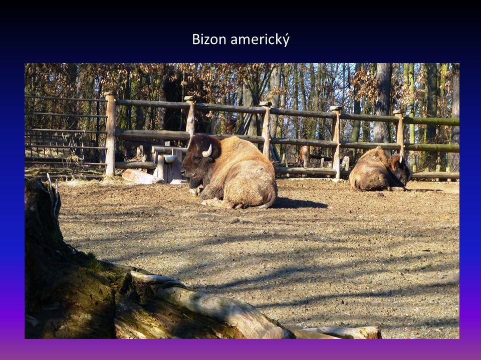 Další pohled na velbloudy dvouhrbé - domácí