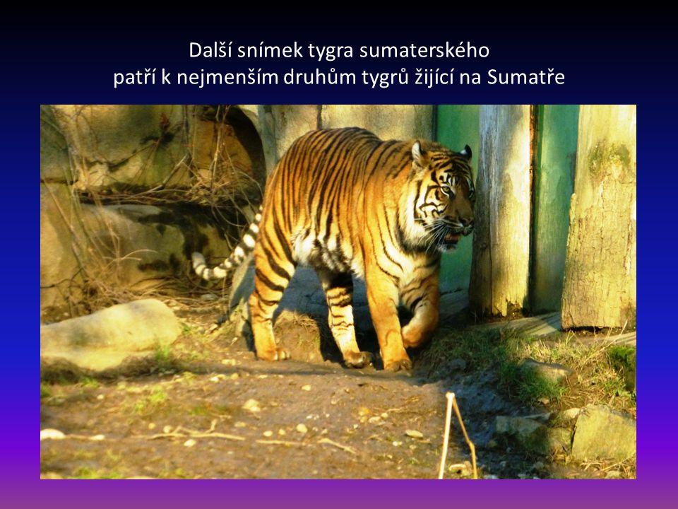 Tygr sumaterský naše první zastavení