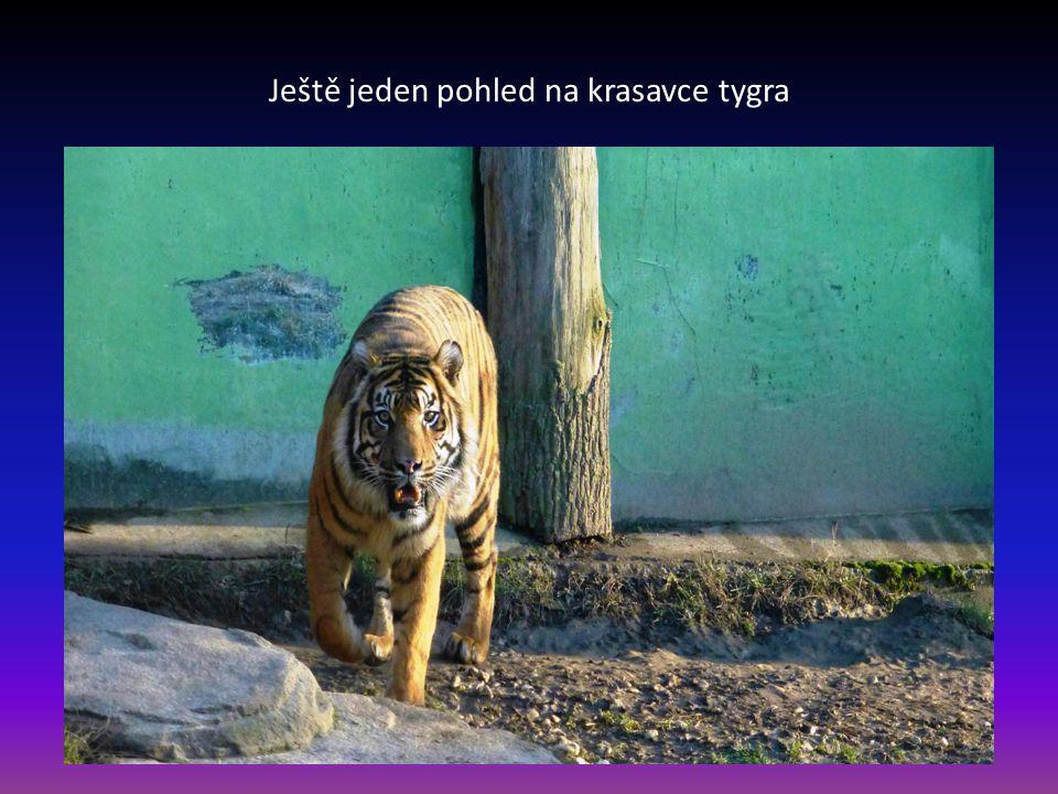 Další snímek tygra sumaterského patří k nejmenším druhům tygrů žijící na Sumatře