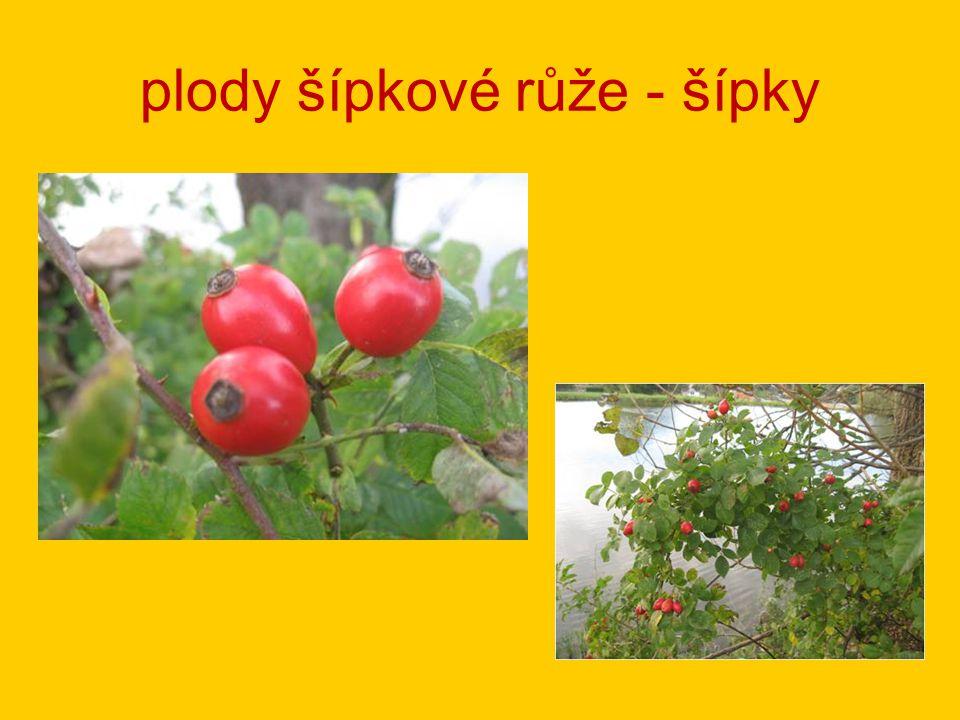 plody šípkové růže - šípky