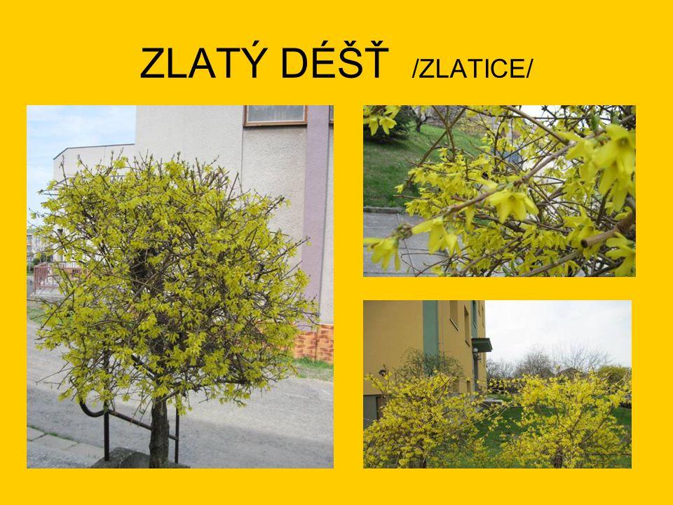 ZLATÝ DÉŠŤ /ZLATICE/