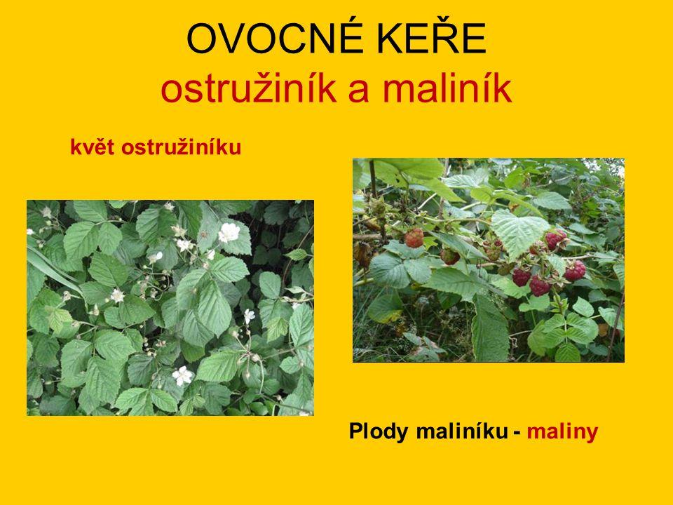 OVOCNÉ KEŘE ostružiník a maliník květ ostružiníku Plody maliníku - maliny