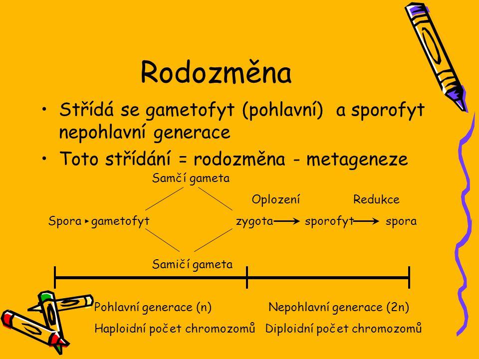 Rodozměna Střídá se gametofyt (pohlavní) a sporofyt nepohlavní generace Toto střídání = rodozměna - metageneze Samčí gameta Oplození Redukce Spora gametofyt zygota sporofyt spora Samičí gameta Pohlavní generace (n) Nepohlavní generace (2n) Haploidní počet chromozomů Diploidní počet chromozomů