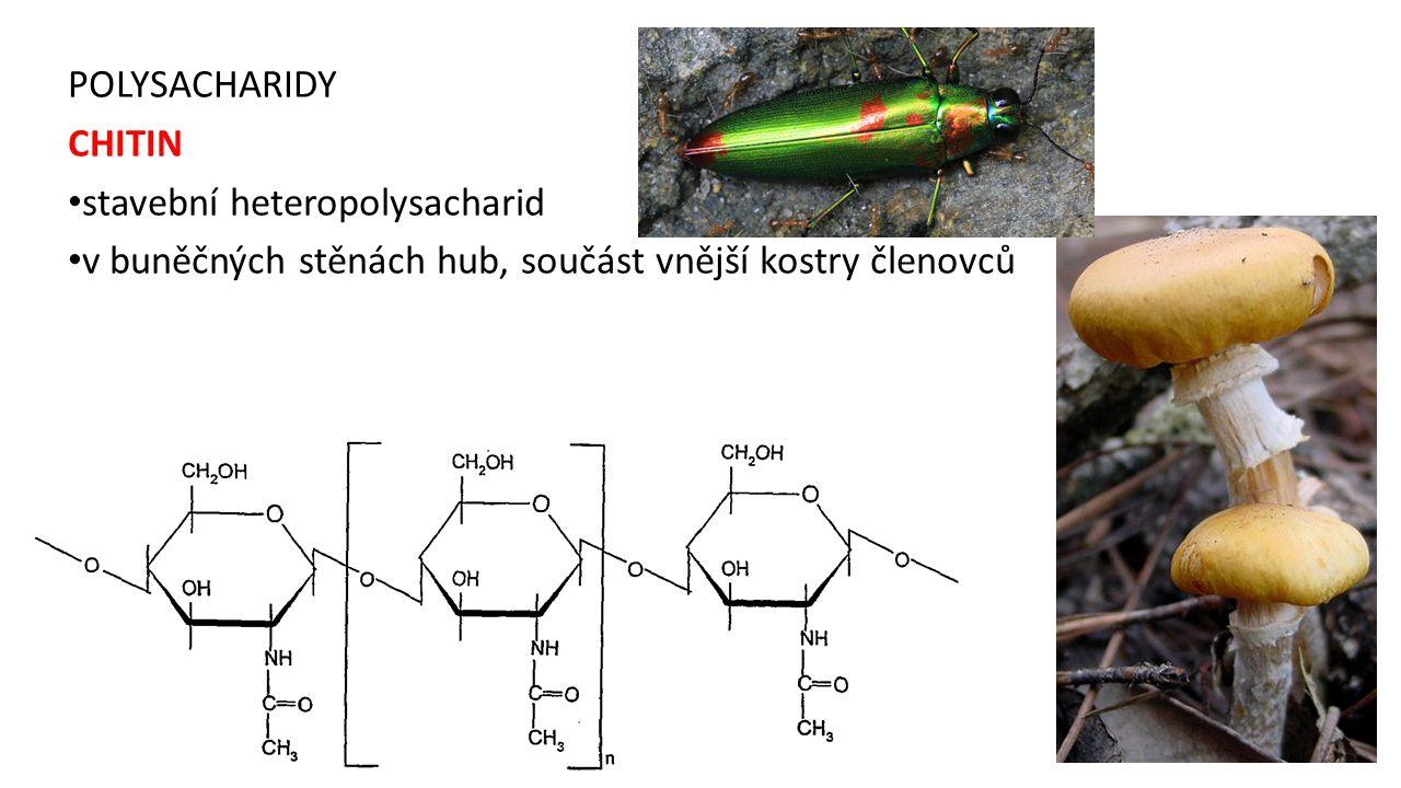 POLYSACHARIDY CHITIN stavební heteropolysacharid v buněčných stěnách hub, součást vnější kostry členovců