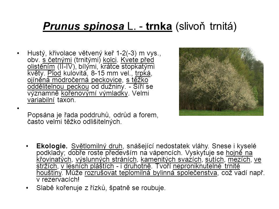 Prunus spinosa L.- trnka (slivoň trnitá) Hustý, křivolace větvený keř 1-2(-3) m vys., obv.