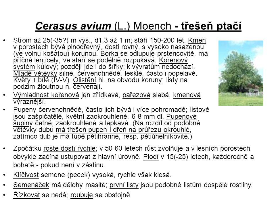 Cerasus avium (L.) Moench - třešeň ptačí Strom až 25(-35?) m vys., d1,3 až 1 m; stáří 150-200 let.