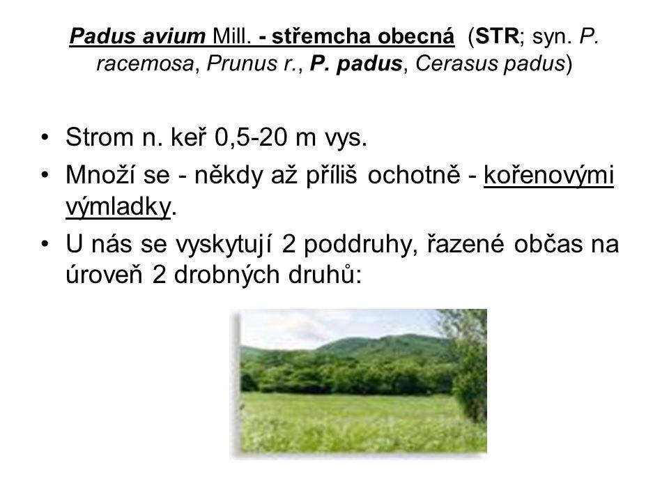 Padus avium Mill.- střemcha obecná (STR; syn. P. racemosa, Prunus r., P.