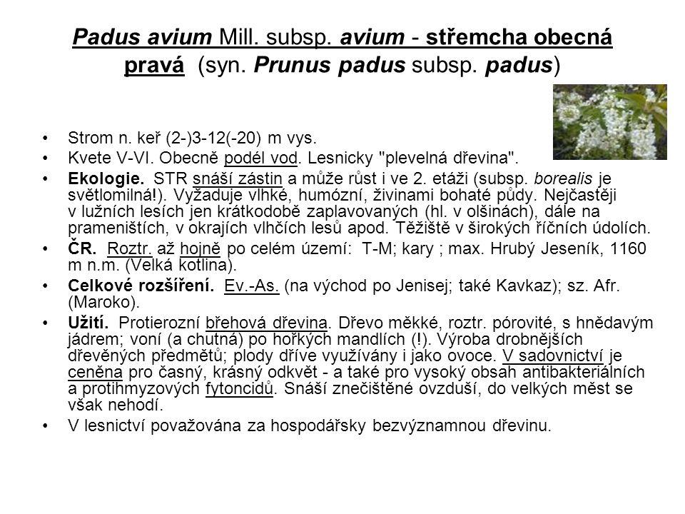 Padus avium Mill.subsp. avium - střemcha obecná pravá (syn.