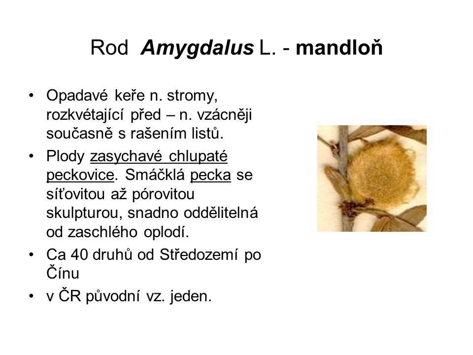 Rod Amygdalus L.- mandloň Opadavé keře n. stromy, rozkvétající před – n.