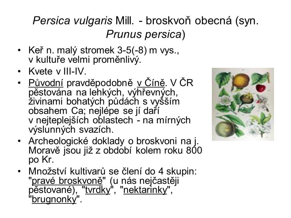 Persica vulgaris Mill.- broskvoň obecná (syn. Prunus persica) Keř n.