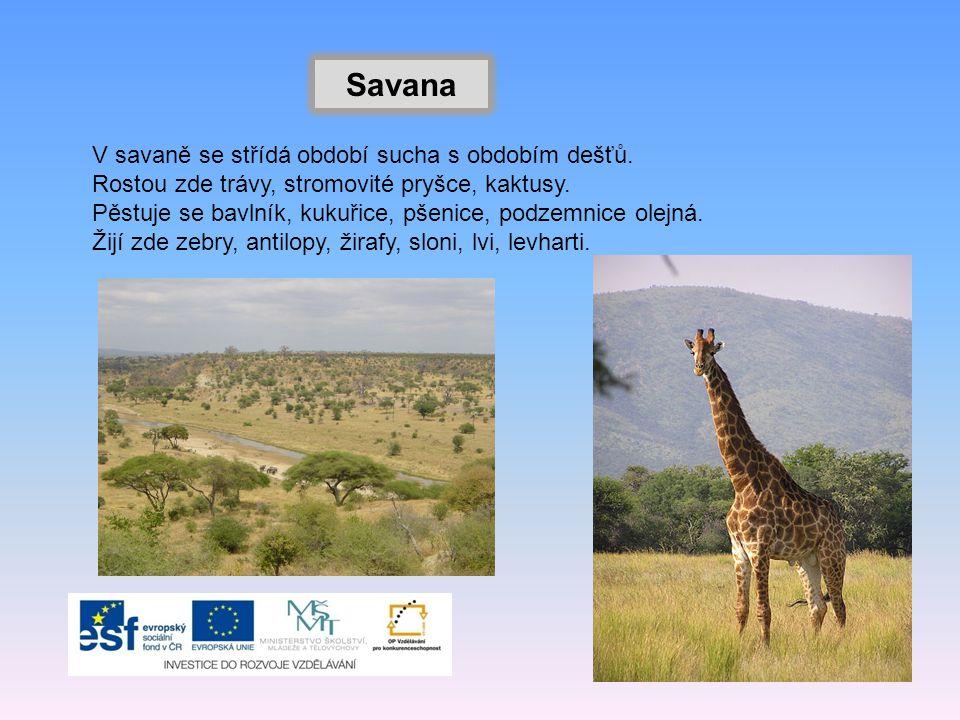 Savana V savaně se střídá období sucha s obdobím dešťů. Rostou zde trávy, stromovité pryšce, kaktusy. Pěstuje se bavlník, kukuřice, pšenice, podzemnic