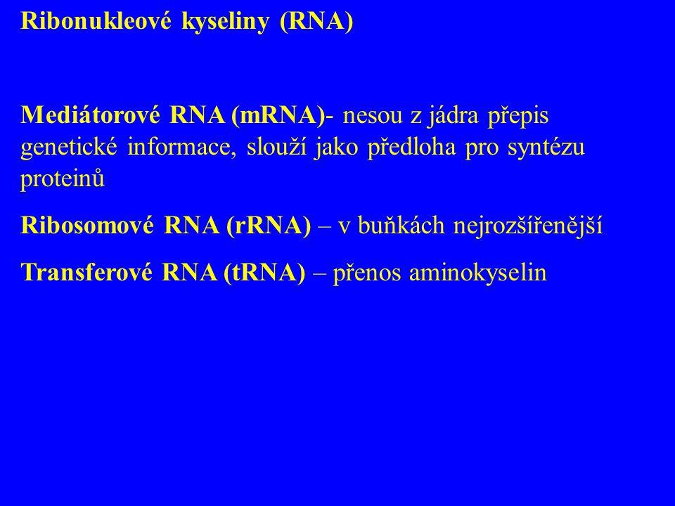 Ribonukleové kyseliny (RNA) Mediátorové RNA (mRNA)- nesou z jádra přepis genetické informace, slouží jako předloha pro syntézu proteinů Ribosomové RNA