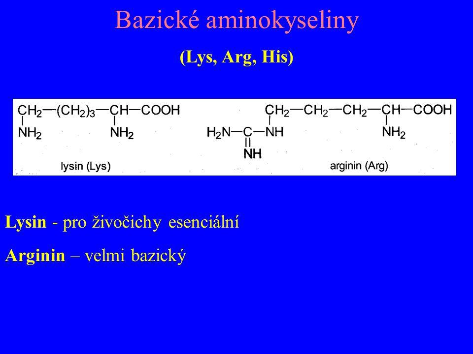 Bazické aminokyseliny (Lys, Arg, His) Lysin - pro živočichy esenciální Arginin – velmi bazický