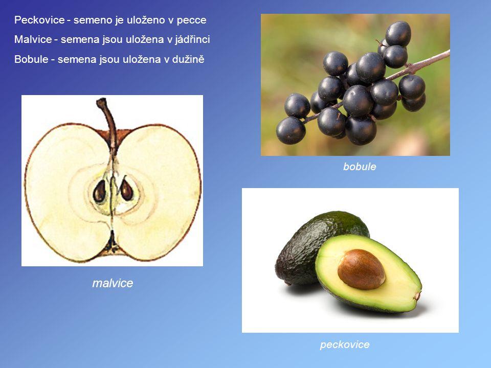 Peckovice - semeno je uloženo v pecce Malvice - semena jsou uložena v jádřinci Bobule - semena jsou uložena v dužině peckovice malvice bobule